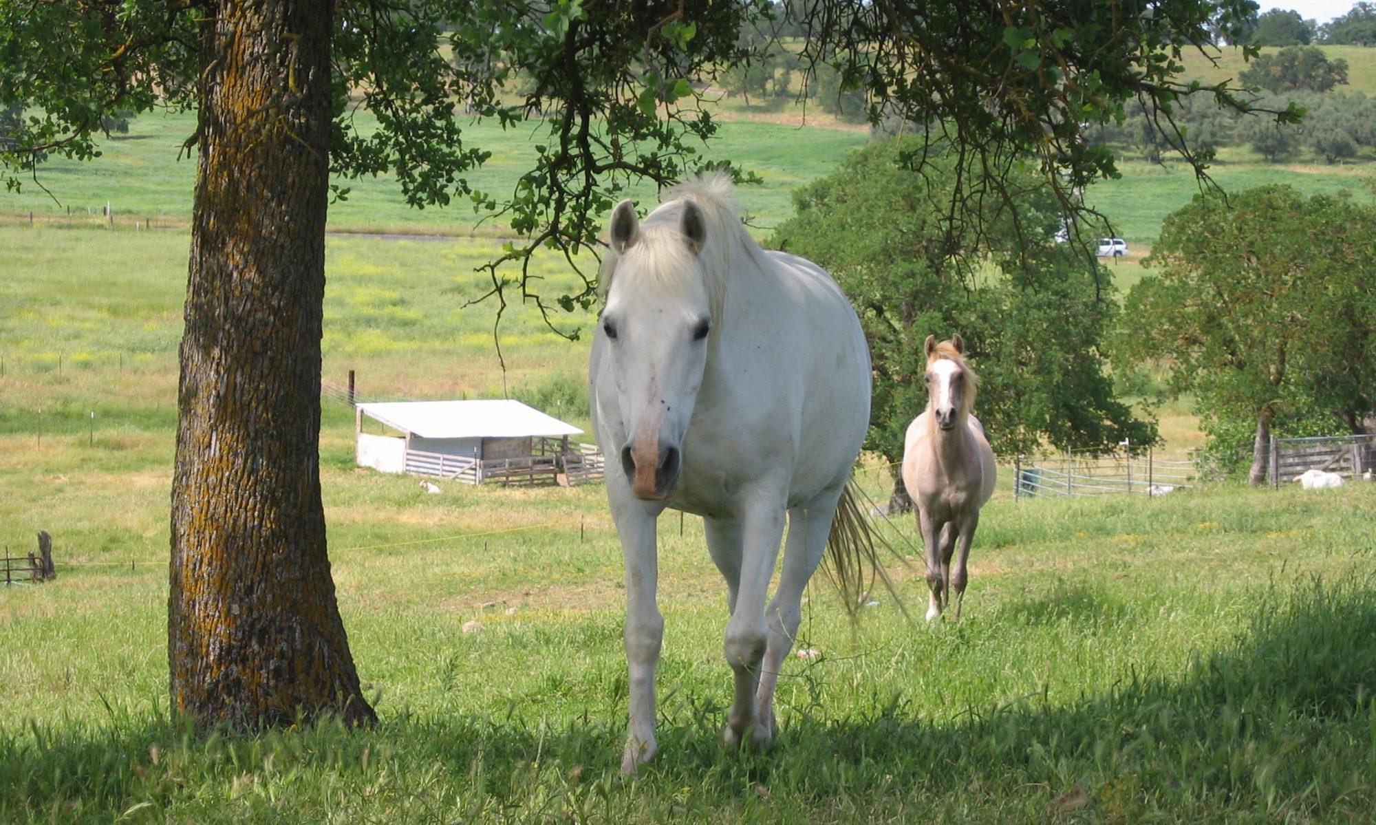 Ambar Davenport Arabians